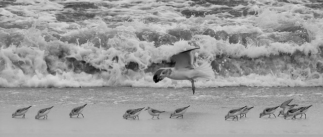 Sally's Seagull Surfside School for Sandpipers