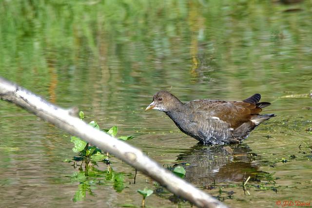 Gallinule poule d'eau_166