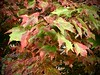 Maple leaves changing colour