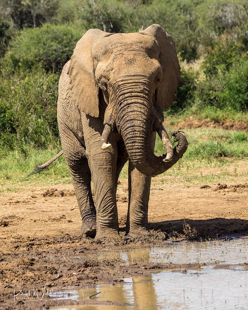 Bull Elephant Applying Sunblock