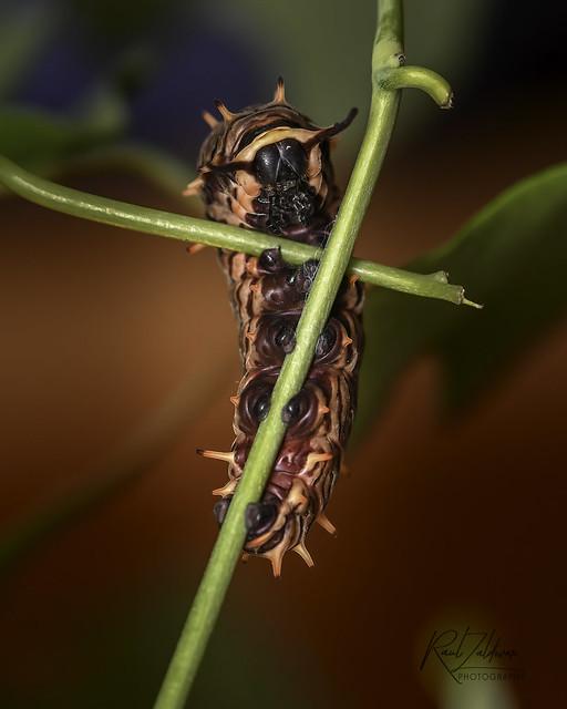 Pipevine Caterpillar [Explore! October 12, 2021]
