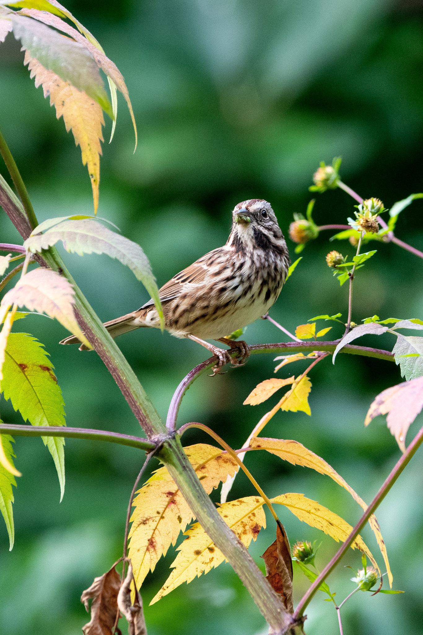 song-sparrow-3915