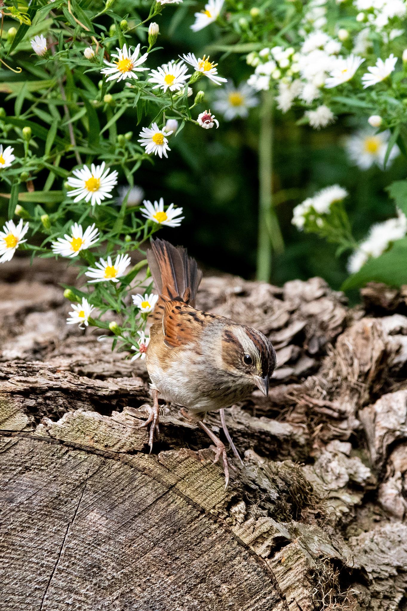 swamp-sparrow-3960