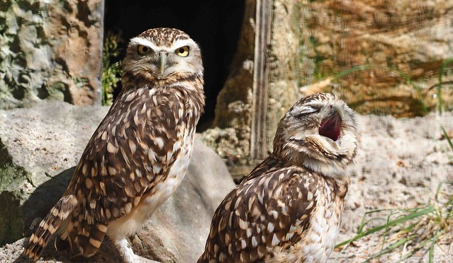 Burrowing Owls at the Hawk Conservancy