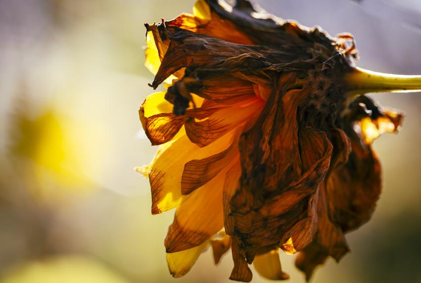 vanha kultapallo kuivunut kukka keltainen lokakuu lämpötila