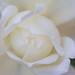 White Rose (III), 10.4.17