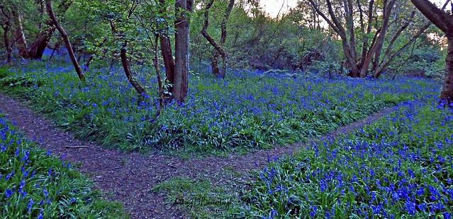 Bluebell Woodland 511-1