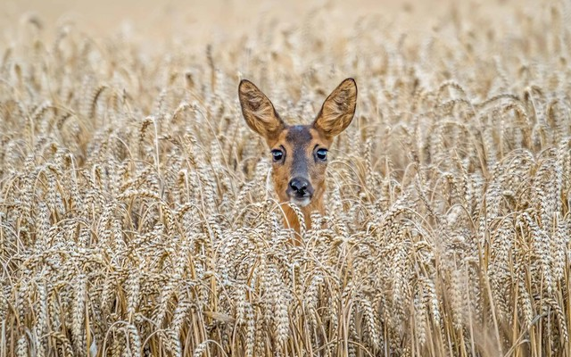 Eavesdropping attack from the cornfield