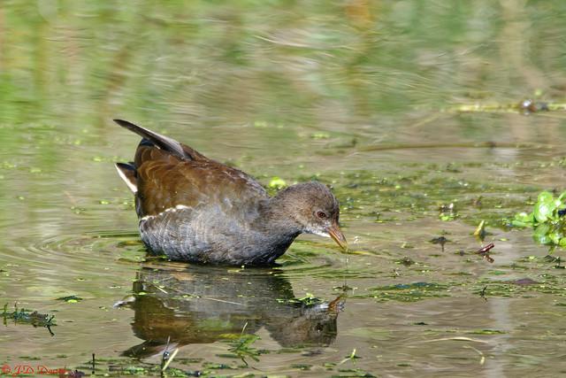 Gallinule poule d'eau_167