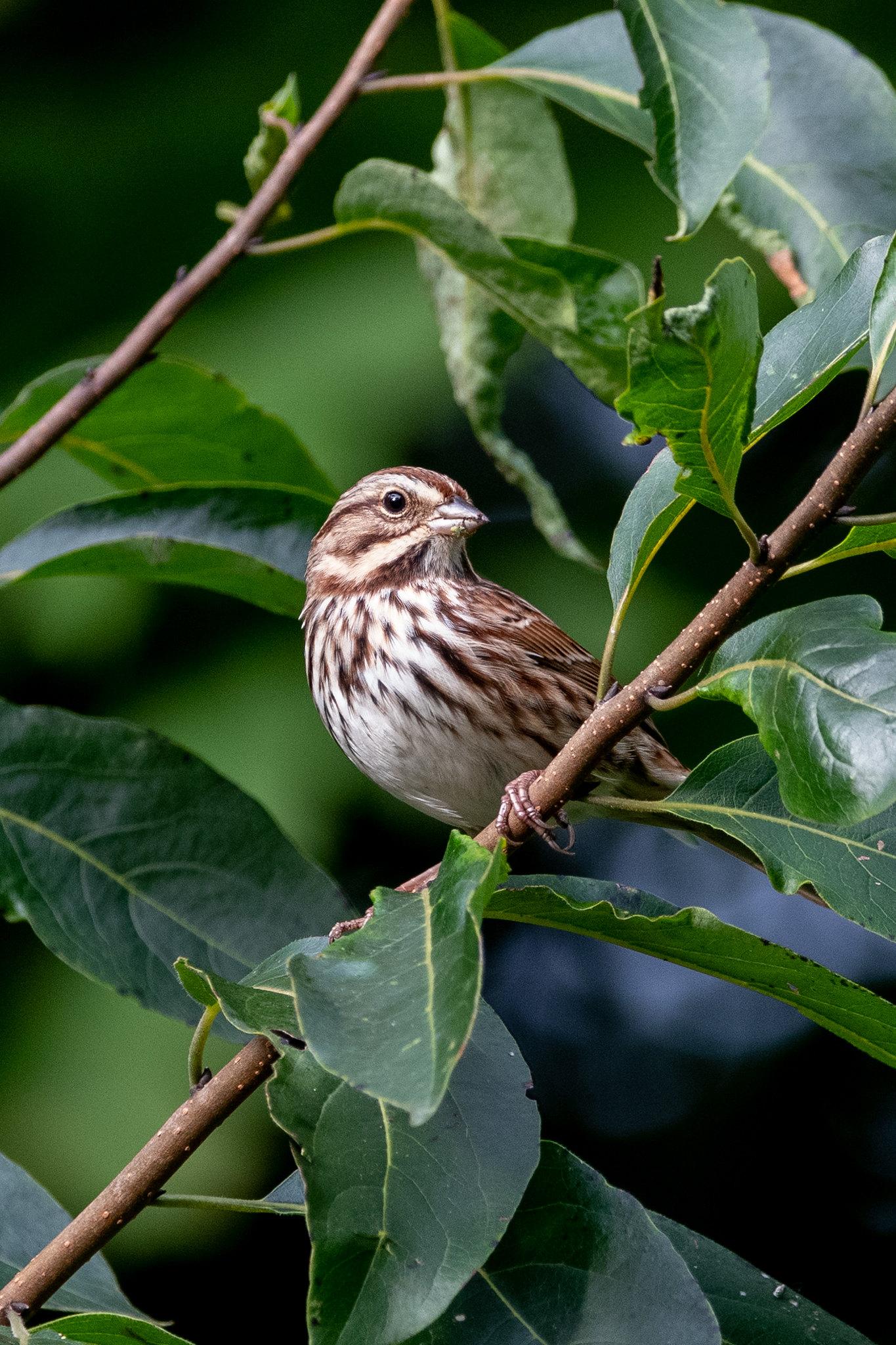 song-sparrow-3918
