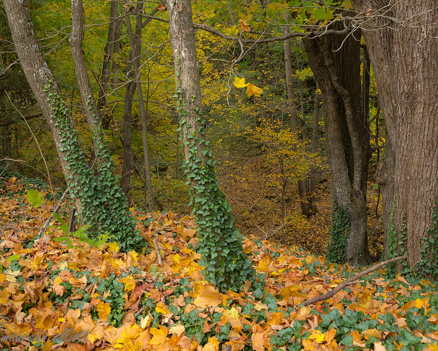 Ivy Grows Here