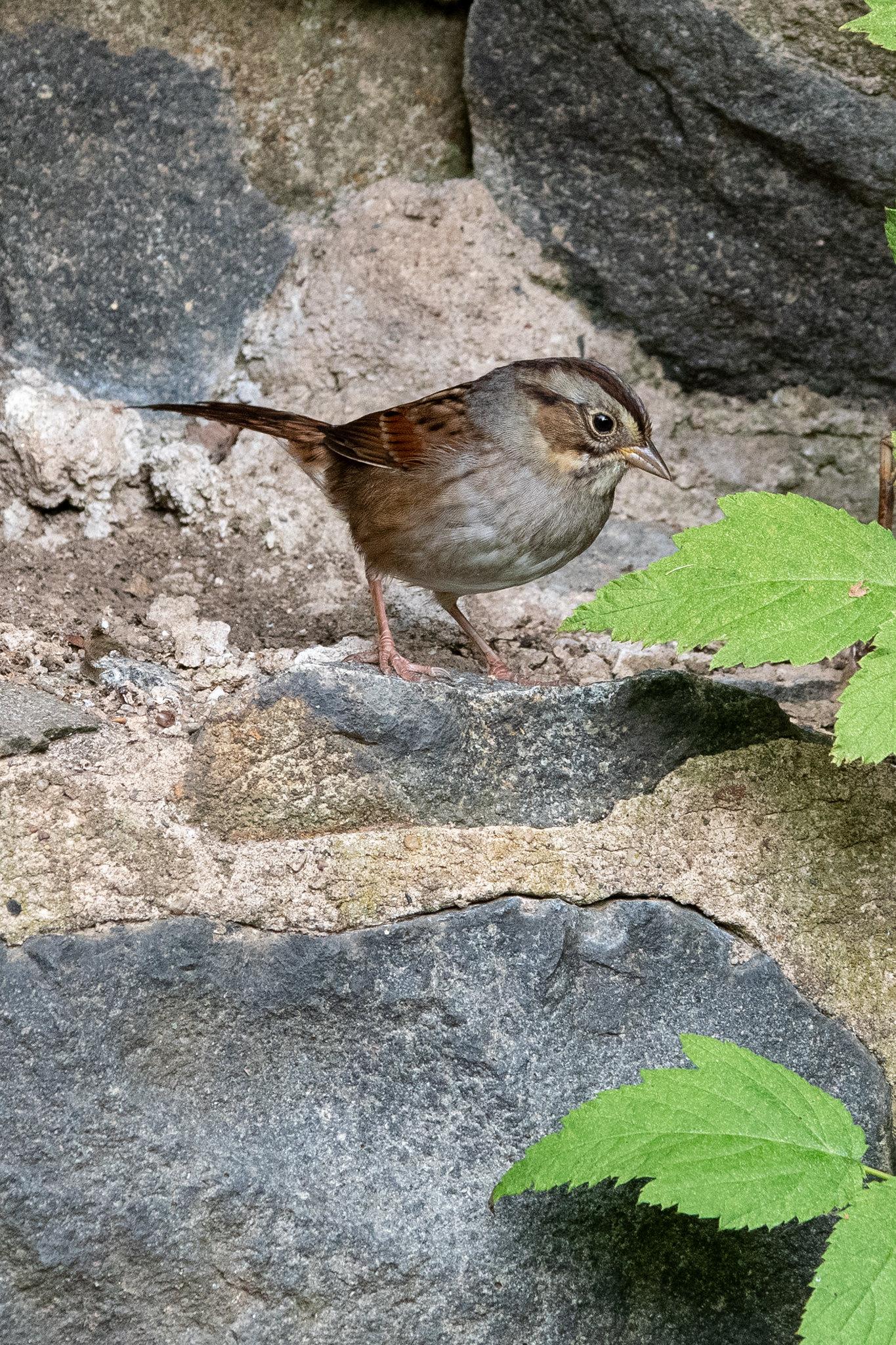 swamp-sparrow-3890