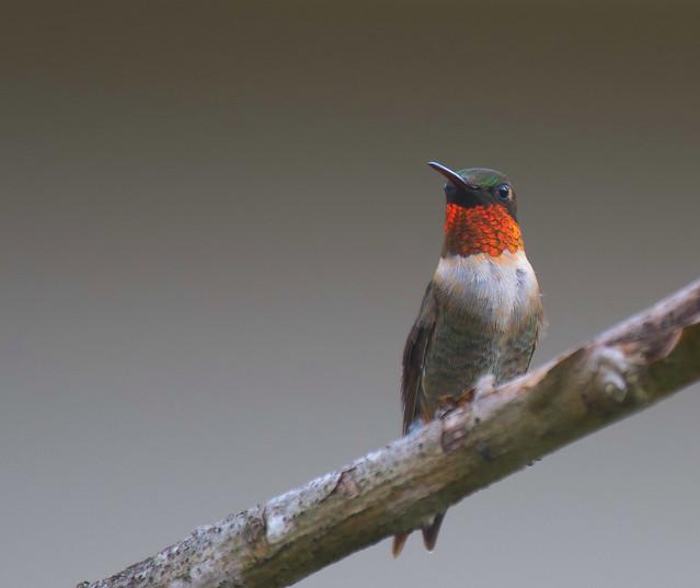 Ruby-throated Hummingbird Just Passing Through
