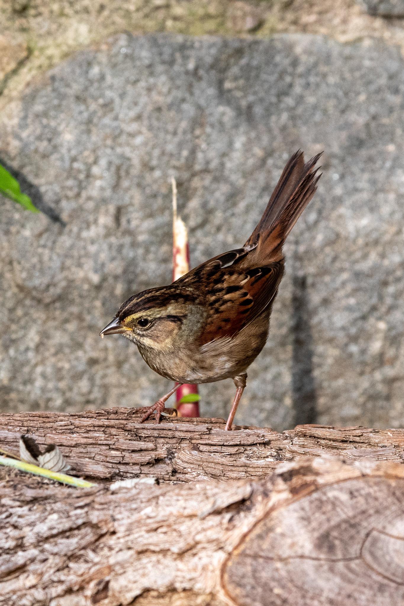 swamp-sparrow-3898
