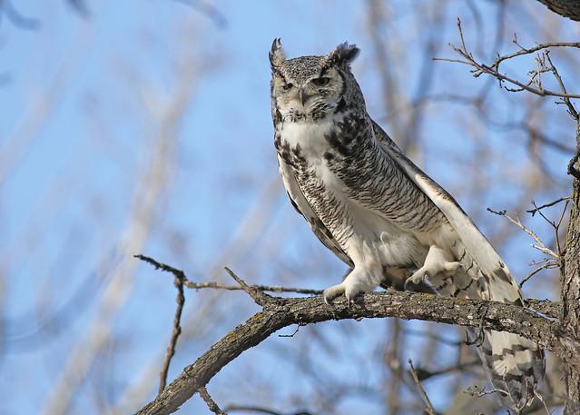 Great Horned Owl...#25