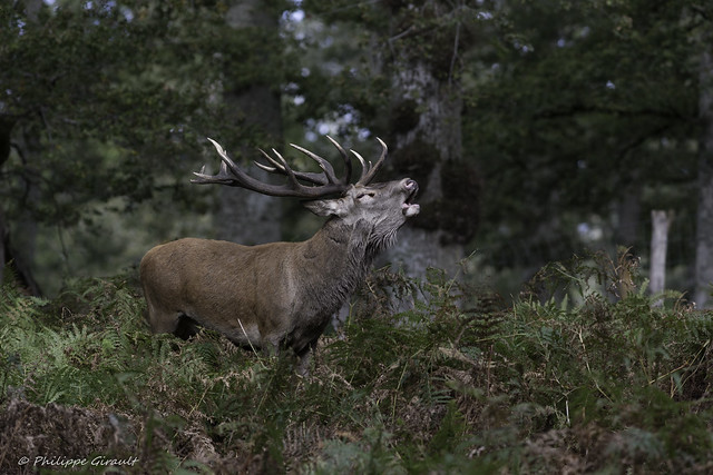 Cerf élaphe (Cervus elaphus - Red Deer)
