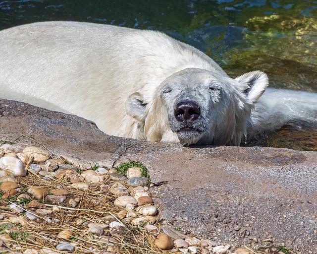 Chilling Polar Bear