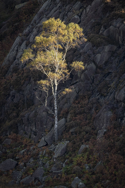 Birch on Holme Fell, near Coniston, Lake District National Park, Cumbria, UK