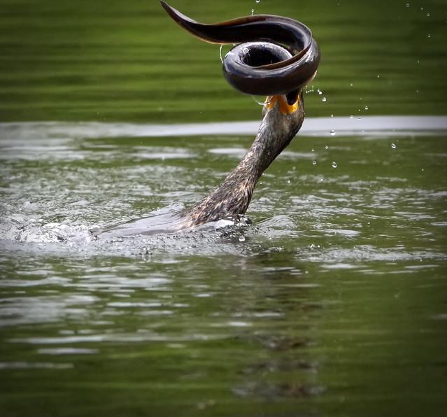 Cormorant struggles with an eel