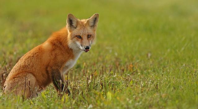 Red Fox...#145
