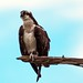 Flickr photo 'The Osprey Perch at St. Andrews State Park' by: Phil's 1stPix.