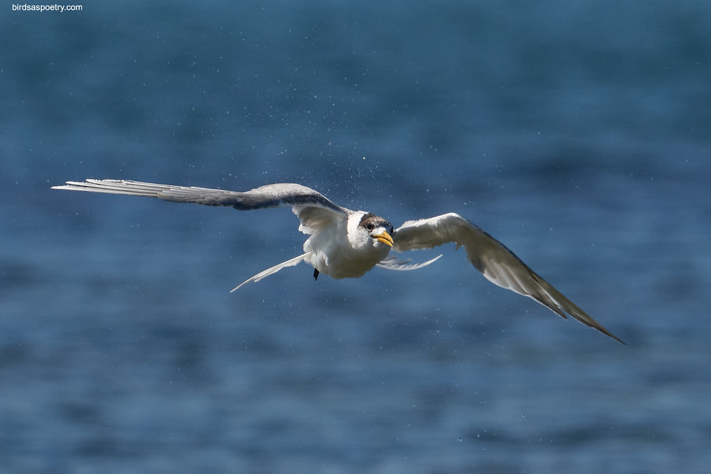 Greater Crested Tern: Droplets