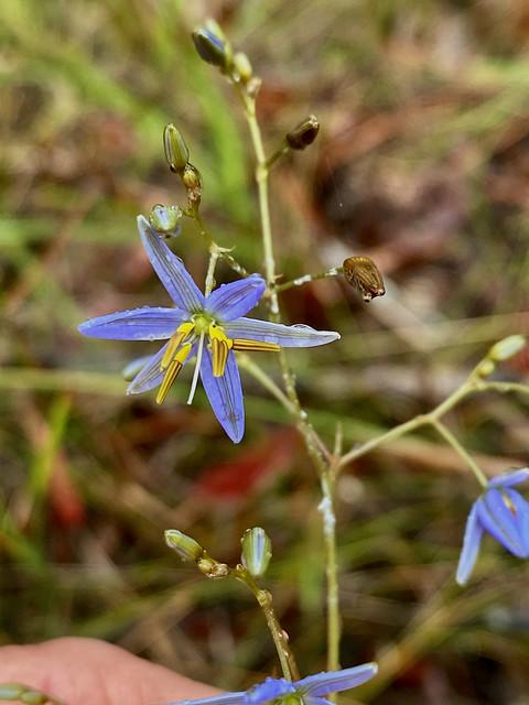 Blue Flax-lily (Dianella caerulea var. assera)