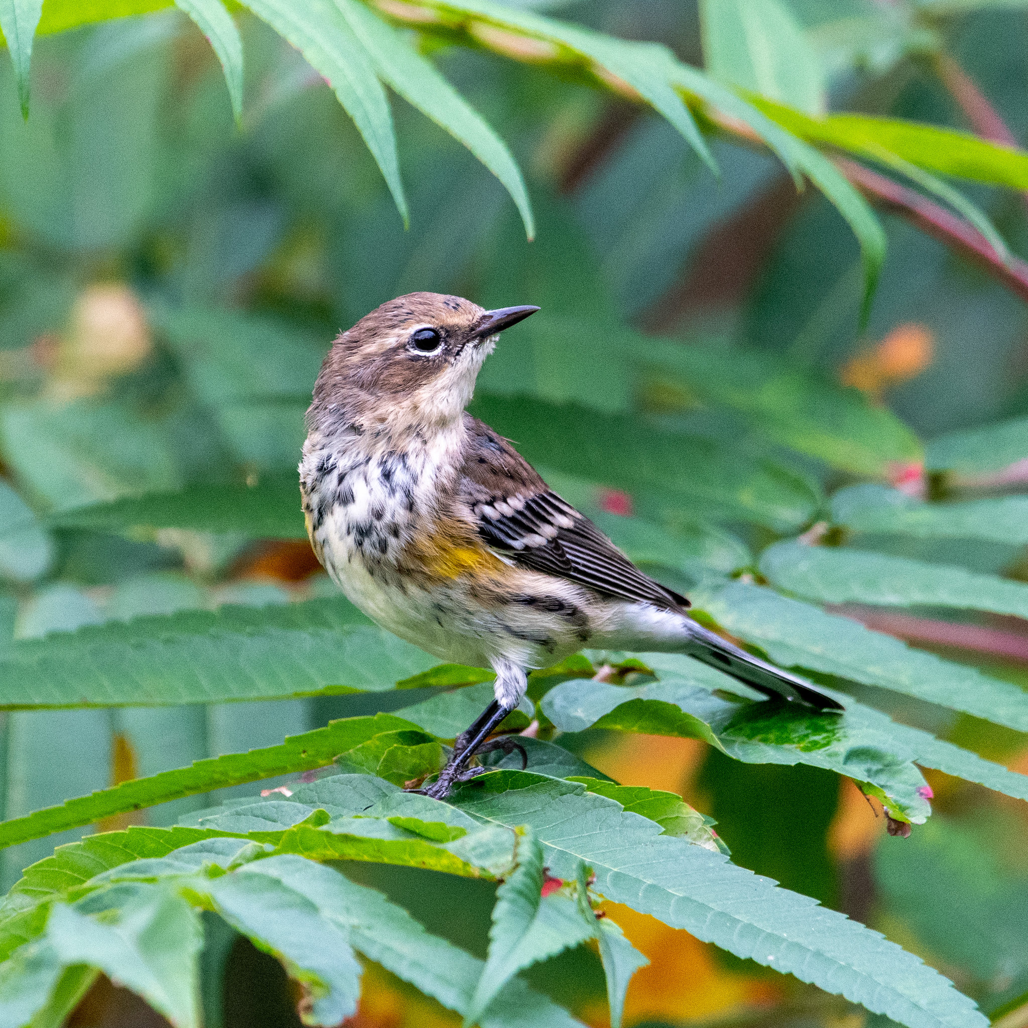 yellow-rumped-warbler-4242