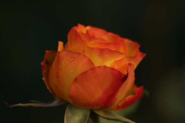 Rosa Tequila Sunrise