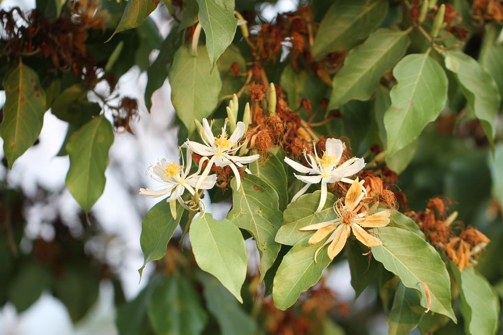 Mollia lepidota Spruce ex Benth