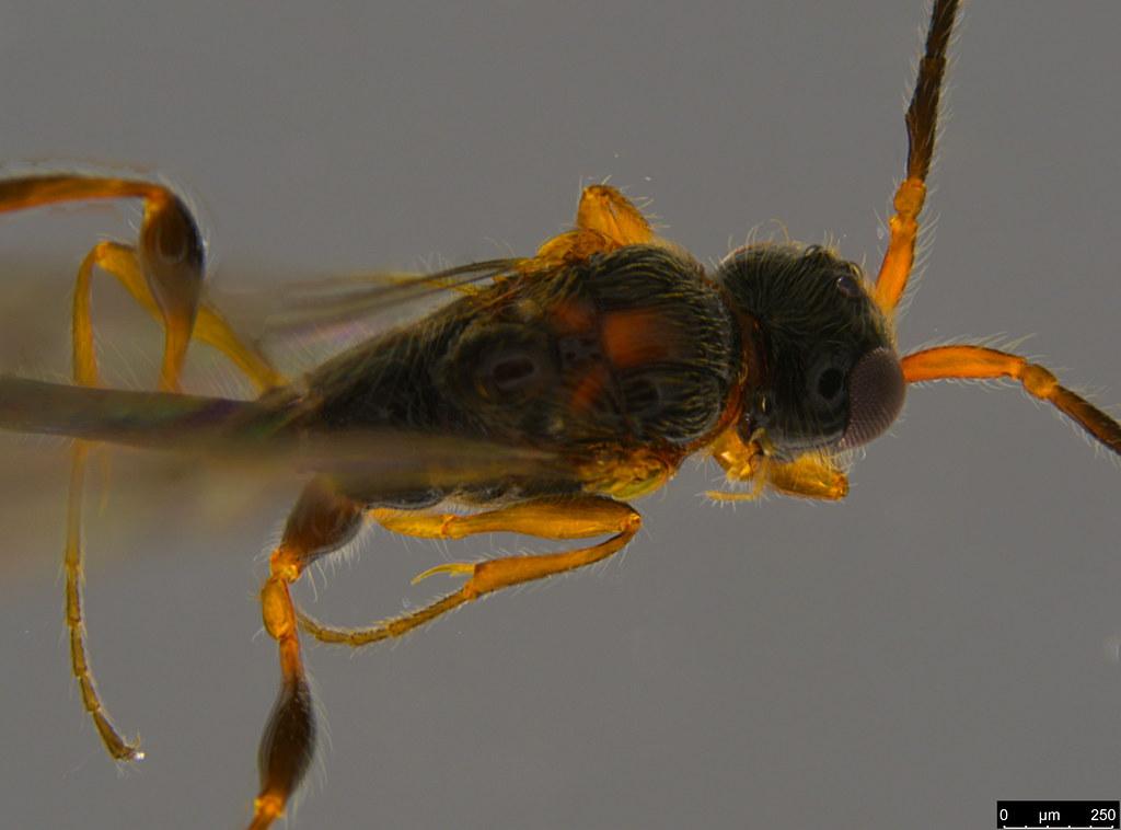 6b - Camptopsilus sp.