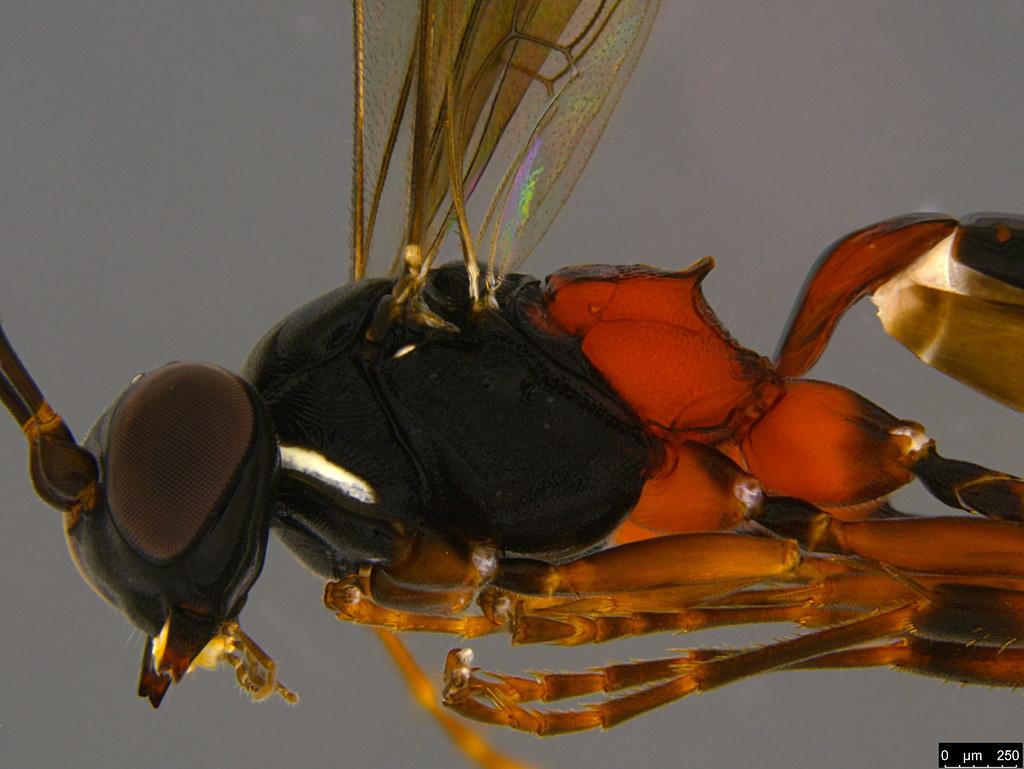 8b - Anacis sp.