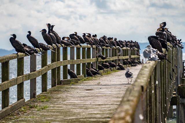 Cormorants in Sassnitz - 1449