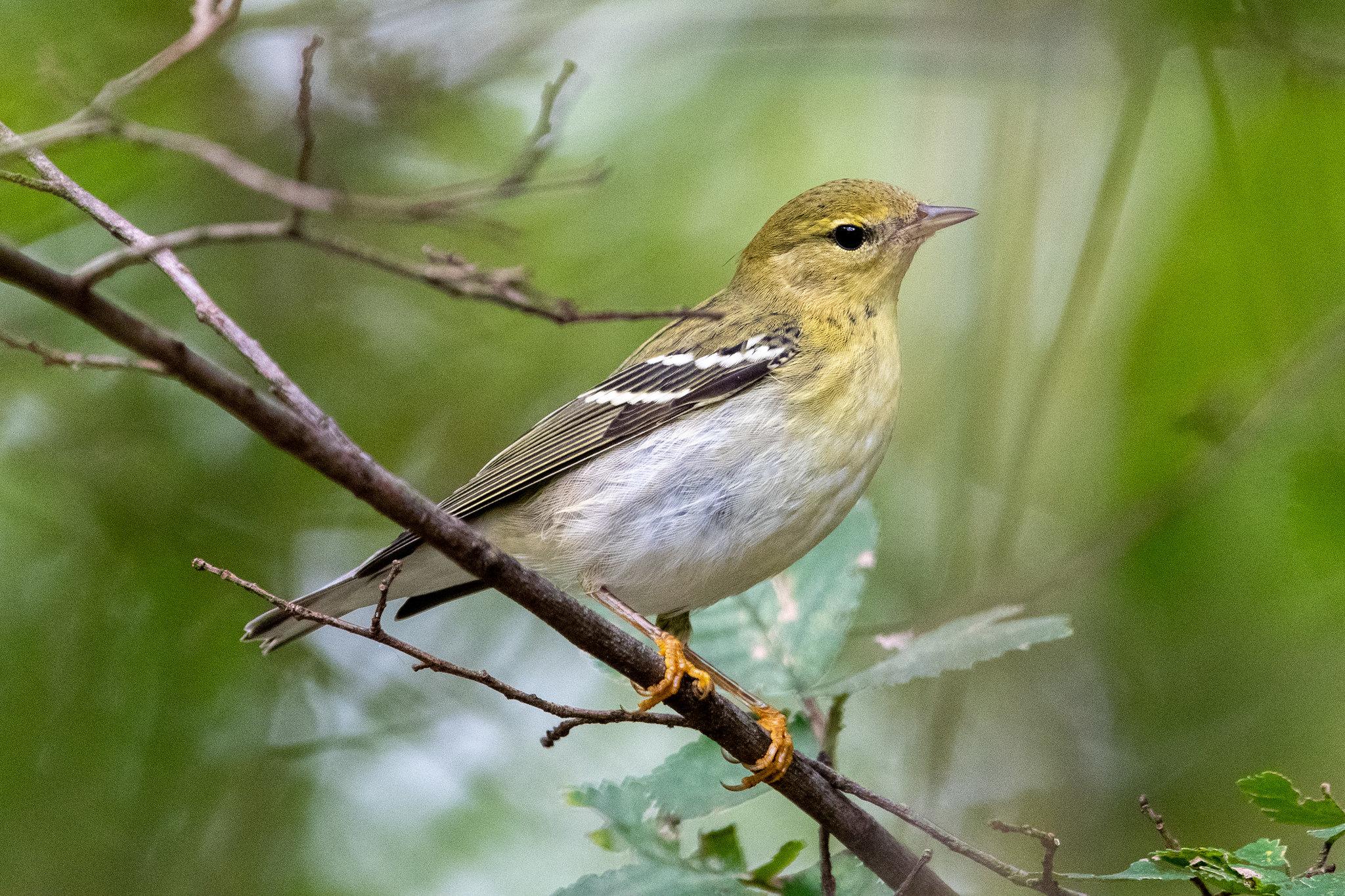 blackpoll-warbler-4321