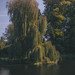 Weeping Willow on the Broadwater, Hatfield House