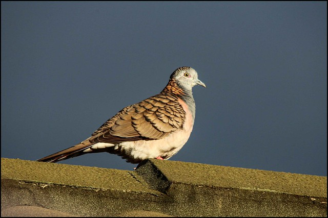 Spotted dove keeps watch