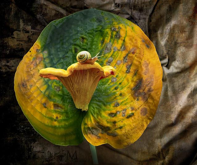 chanterelle on a hosta-leaf
