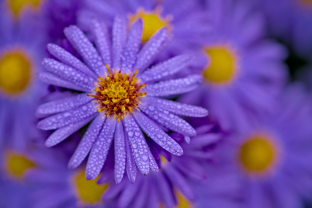 Asters on a misty day