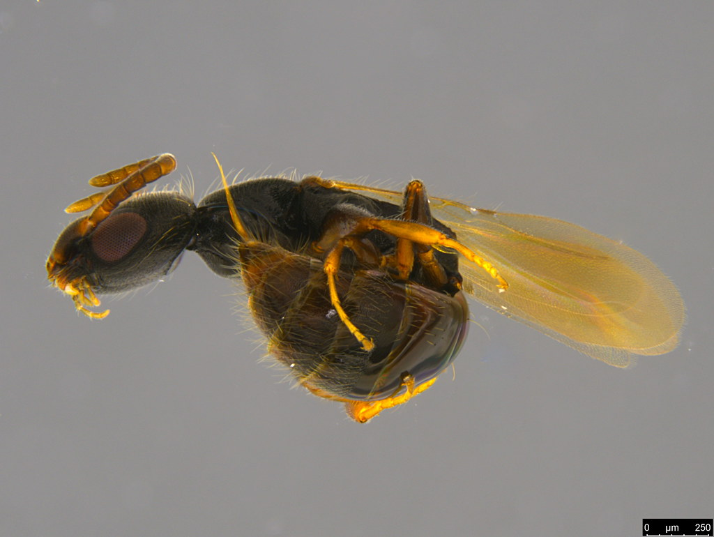 4a - Bethylidae sp.