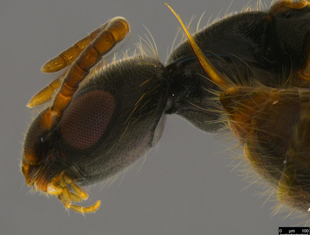 4c - Bethylidae sp.