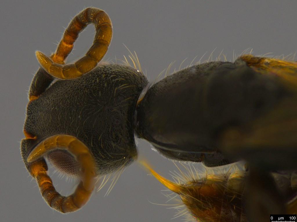 4d - Bethylidae sp.