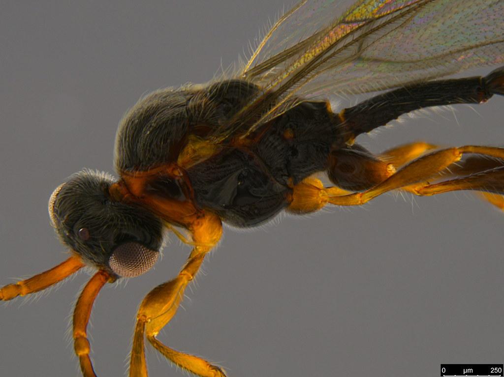 5b - Camptopsilus sp.
