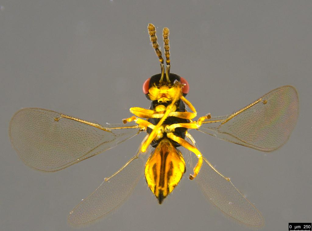 7b - Eulophidae sp.