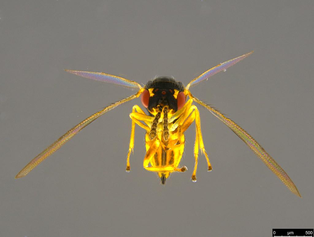 7v - Eulophidae sp.