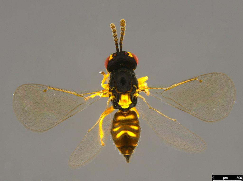 7a - Eulophidae sp.