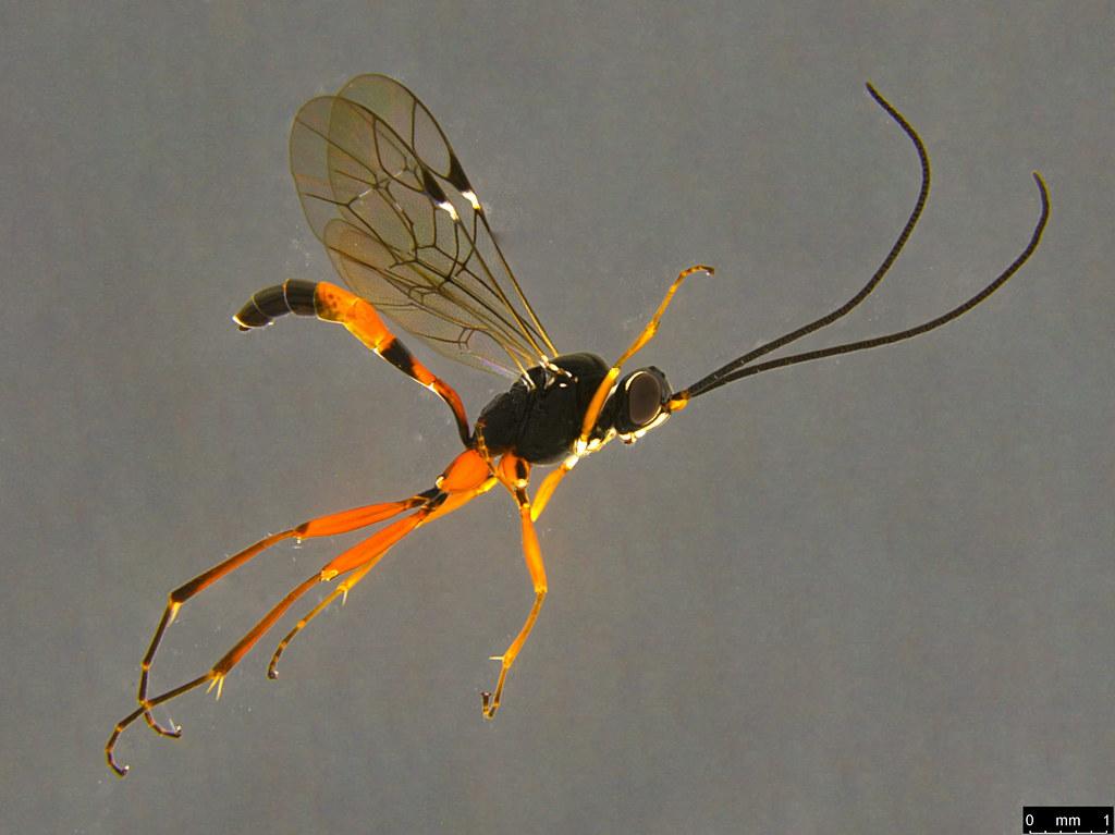 13a - Ichneumonidae sp.