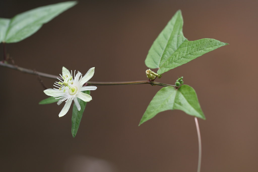 Passiflora rubra L.
