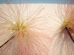 fluffy pink flower from a tree in the Japanese Garden in Kelowna