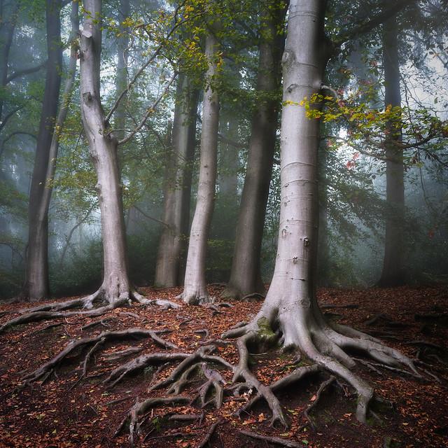 3 Silver Birches