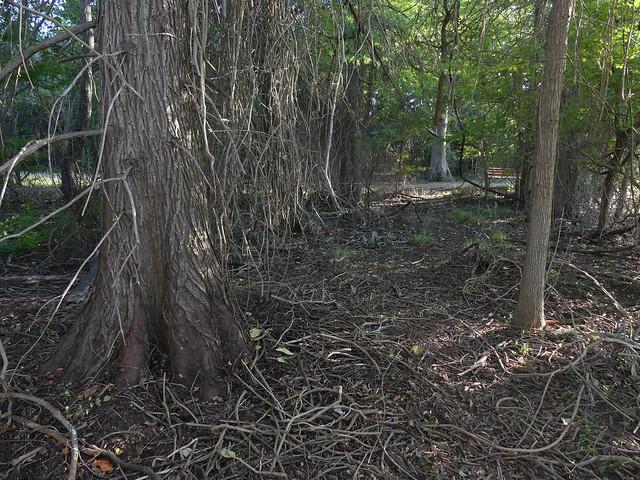 P1190583 - Cypress trees at LBJ National Historical Park